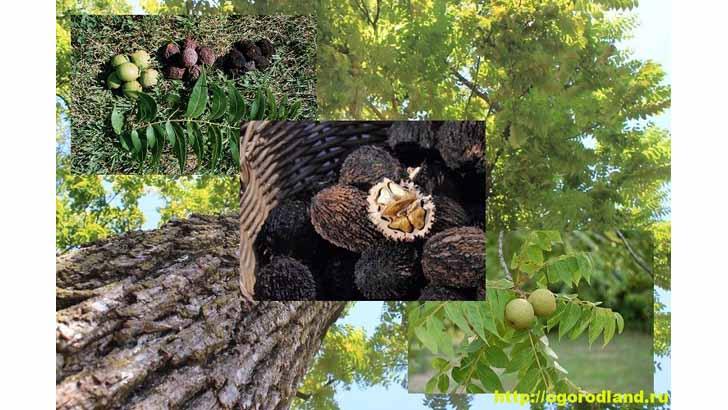 Черный орех – описание. Выращивание и уход за черным орехом
