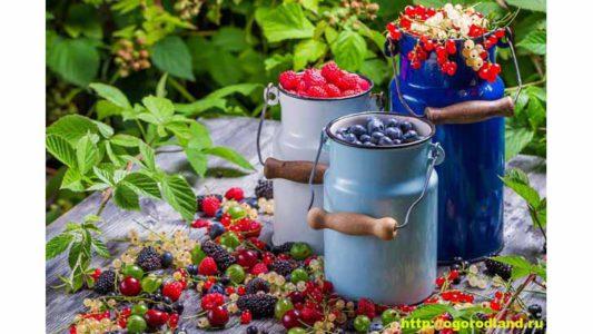 Как повысить урожайность ягодных культур