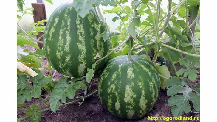 Выращивание арбуза. Сорта арбуза