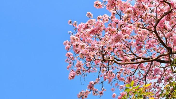 Какую сакуру выбрать для своего сада?