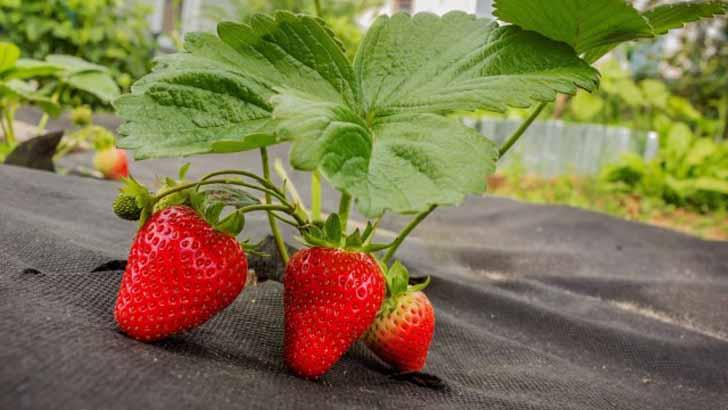 9 материалов для мульчирования земляники садовой