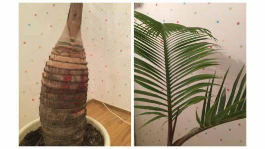 Гиофорба — настоящая бутылочная пальма. © palm.boutique