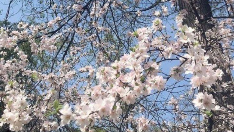 В «Аптекарском огороде» расцвела сакура с горы Фудзияма