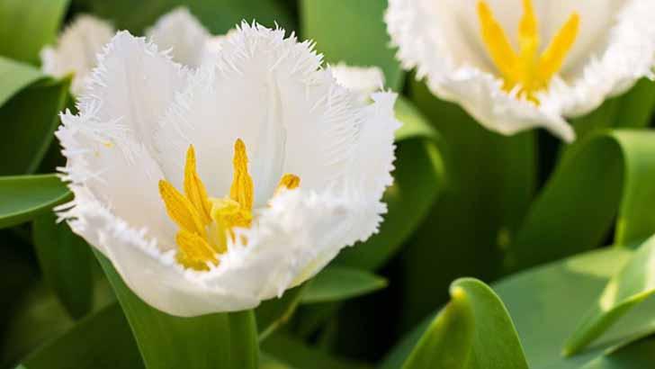 10 модных белых сортов тюльпанов