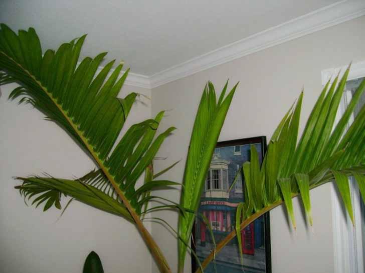 Комнатные гиофорбы-пальмы высотой до 2-х м, но все равно крупные и объемистые. © edible_plum