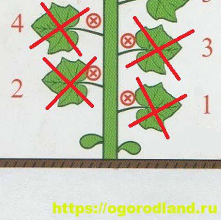 Ослепление огурцов на 2-3 узла (Рис.1)