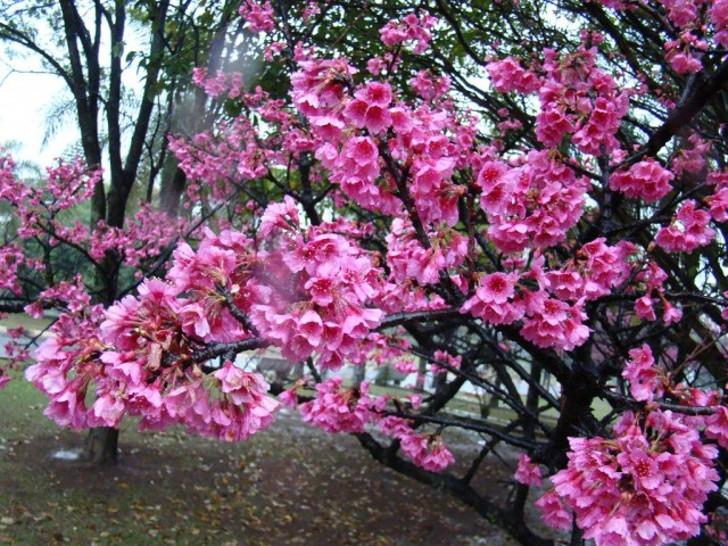 Вишня колокольчатая (Prunus campanulata). © mauro halpern