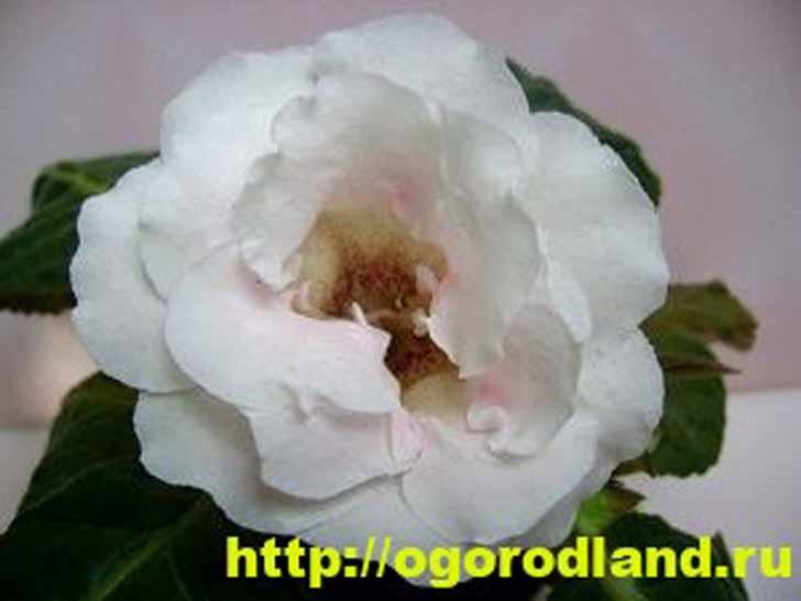 Глоксиния белая