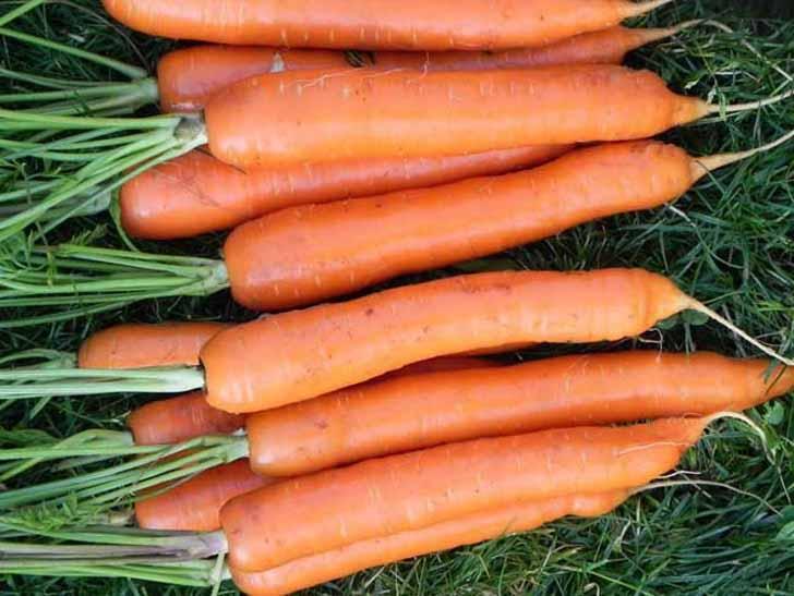 Морковь «Тушон». © bloomingarden