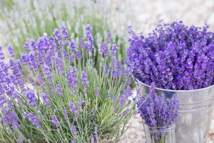 Срезать лаванду в момент полного и максимального раскрытия всех цветов нужно для приготовления чая и косметических средств