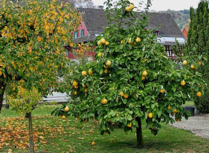 Обычно привитые сортовые саженцы айвы вступают в плодоношение через 2-3 года. © Eduard Bürge