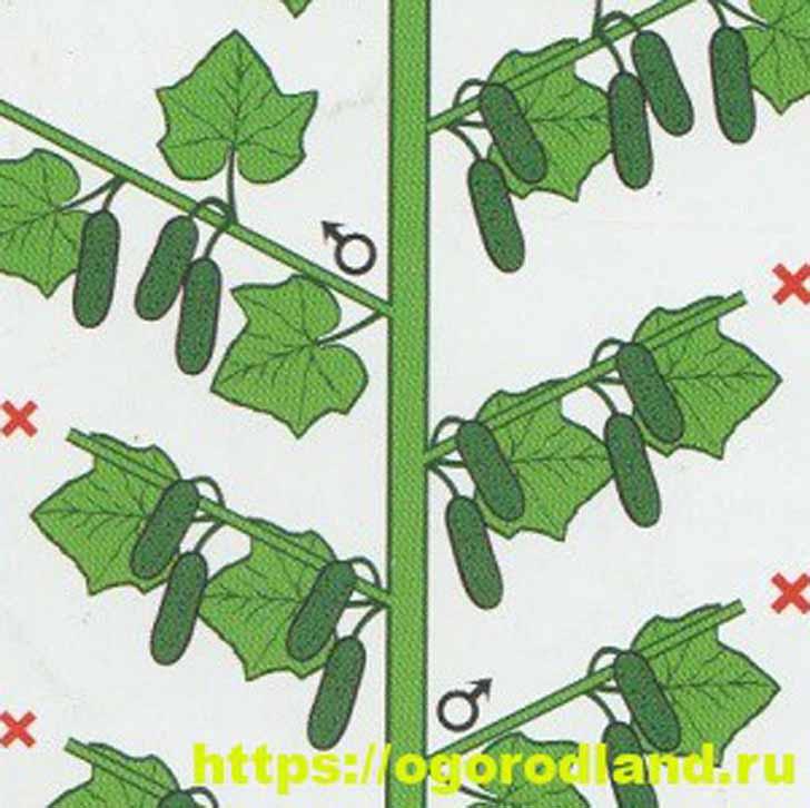 Прищипывание на 2-3 листа (Рис. 2)