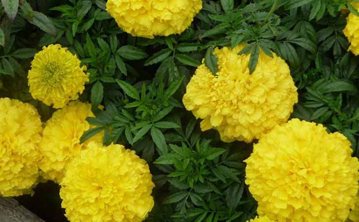 Прямостоячие бархатцы (Tagetes erecta) Lemon Queen. © sad6sotok