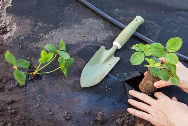Мульчирование земляничных грядок спанбондом