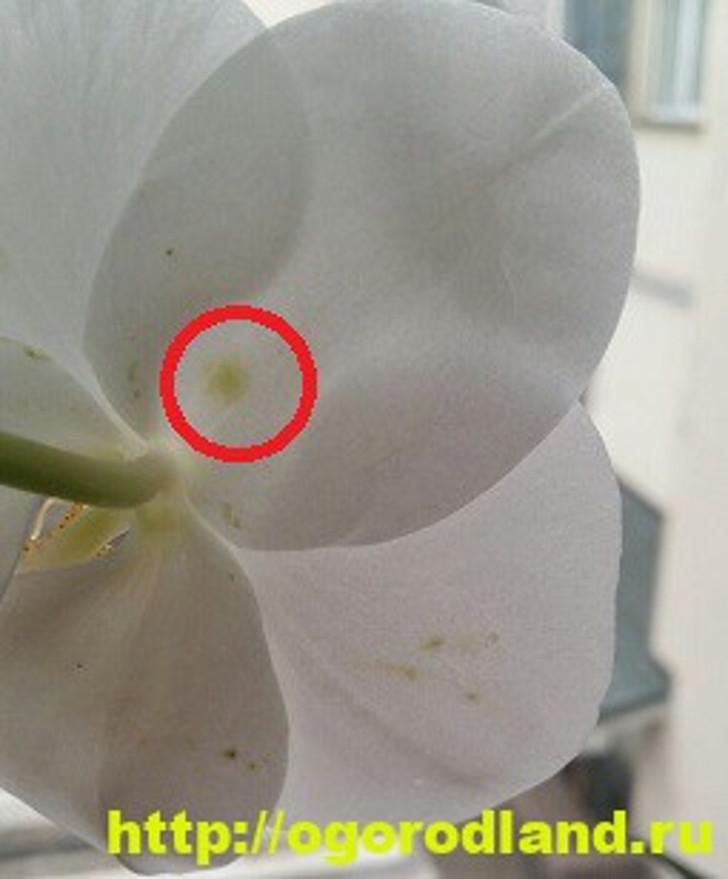 Пятна на лепестках орхидеи