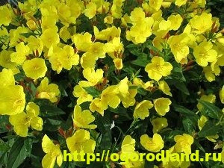 Энотера желтая