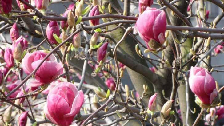 Магнолия (Magnolia). © Nicole Heine