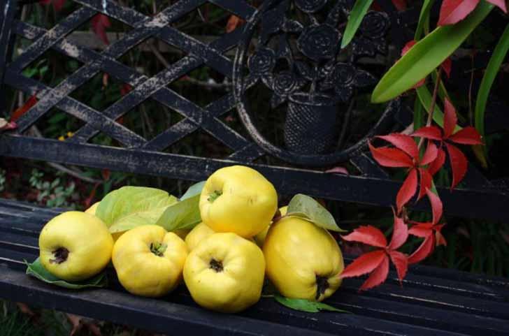Для получения максимального вкуса и аромата плоды айвы стоит подержать на дереве, как можно дольше. © julia_HalleFotoFan