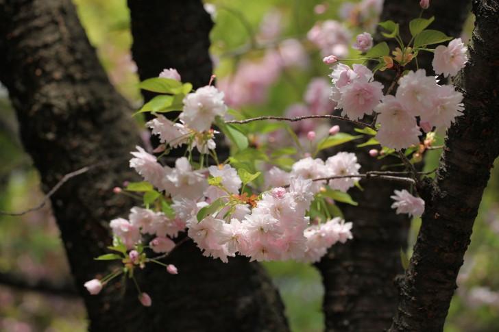 Горная сакура (Prunus Jamasakura). © Eiki Yasuda