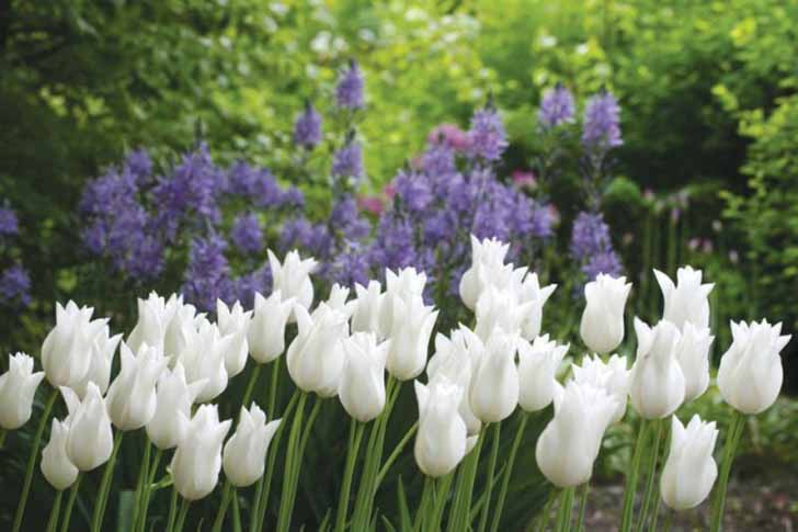 Сорт тюльпана «Белый Триумфатор» (White Triumphator). © Brent and Becky's Bulbs