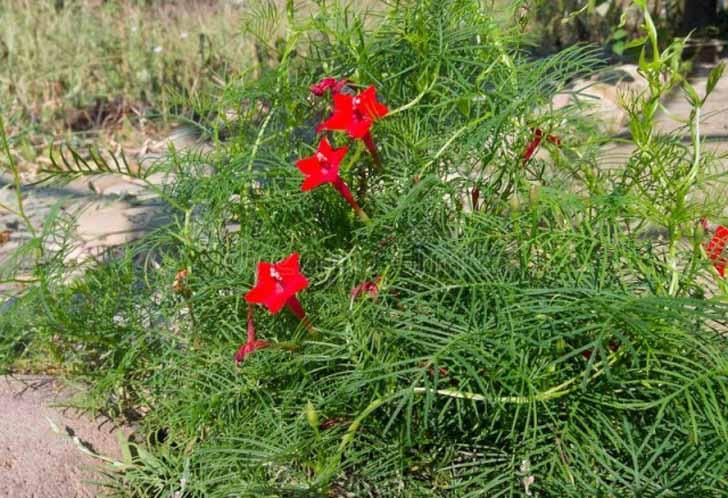 Ипомея квамоклит перистый (Ipomoea quamoclit pennata). © Людмила Светлицкая