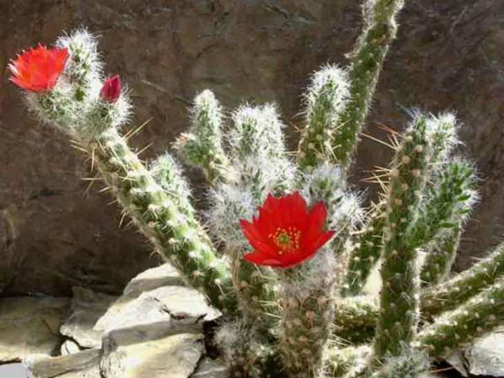 Аустроцилиндропунция покрытая (Austrocylindropuntia vestita). © World of Succulents