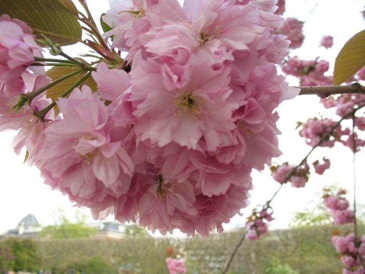 Вишня мелкопильчатая (Prunus serrulata). © danielilla