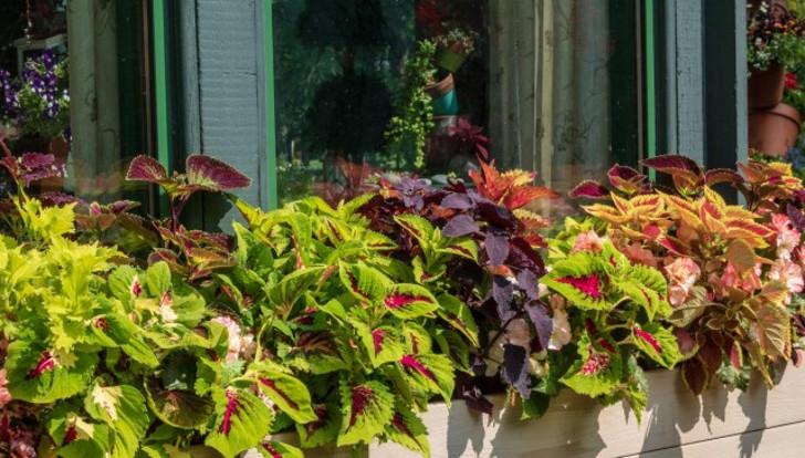 Колеусы идеальны для балконного озеленения