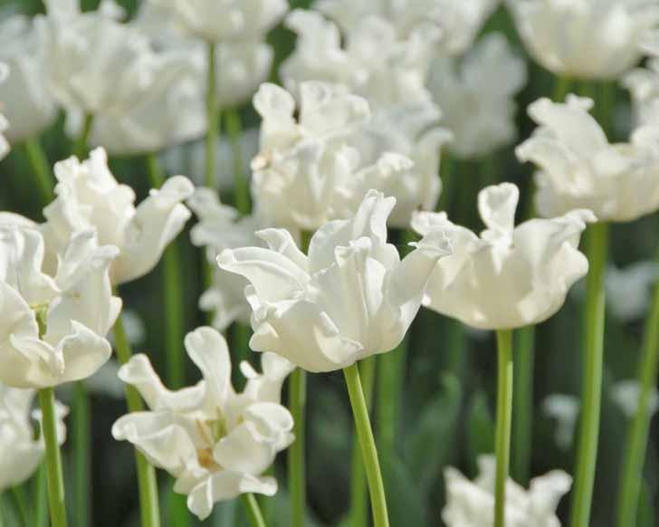 Сорт тюльпана «Белый Либерстар» (White Liberstar). © Farmer Gracy