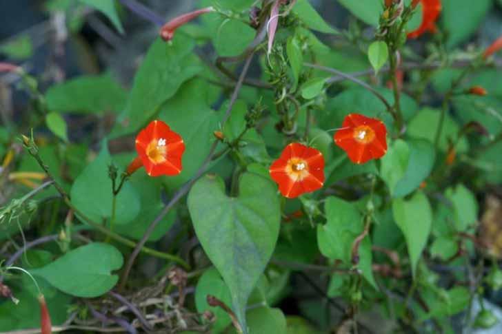 Ипомея квамоклит огненно-красный (Ipomoea coccinea). © Takashi Hoshide