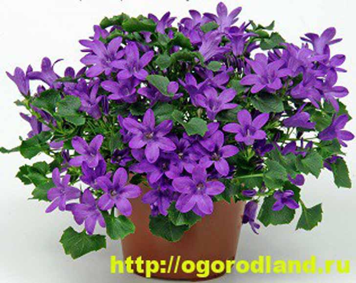 Кампанула фиолетовая