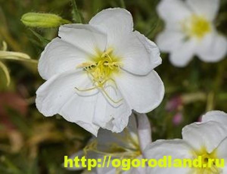 Энотера белая (бледная)