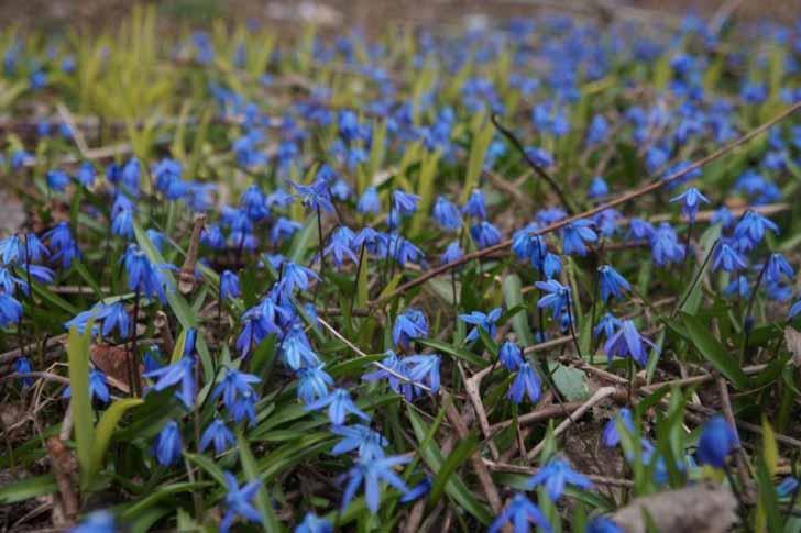 В саду пролеска крайне неприхотлива. © Людмила Светлицкая
