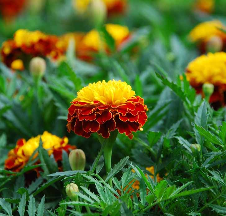 Бархатцы африканские (Tagetes erecta) Orange Flame. © Garden Seeds Market