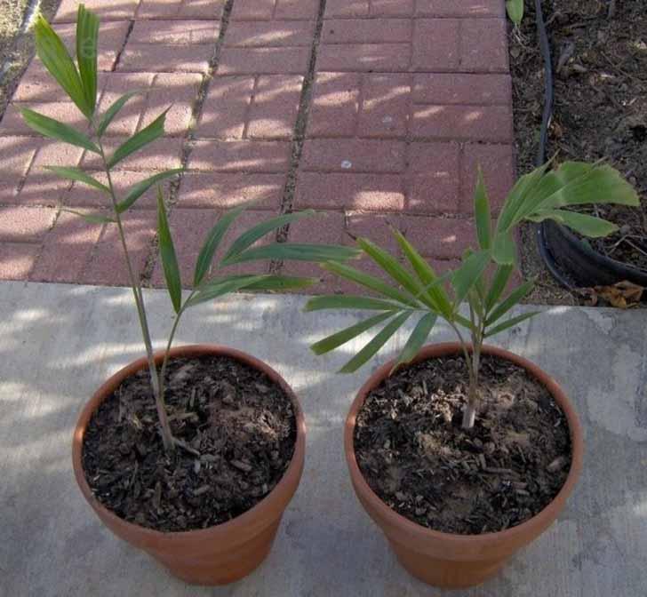 Единственным методом размножения бутылочной пальмы является выращивание из семян. © Dave's Garden