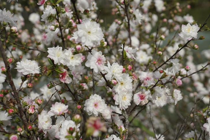 Вишня железистая (Prunus glandulosa). © Chien Hung