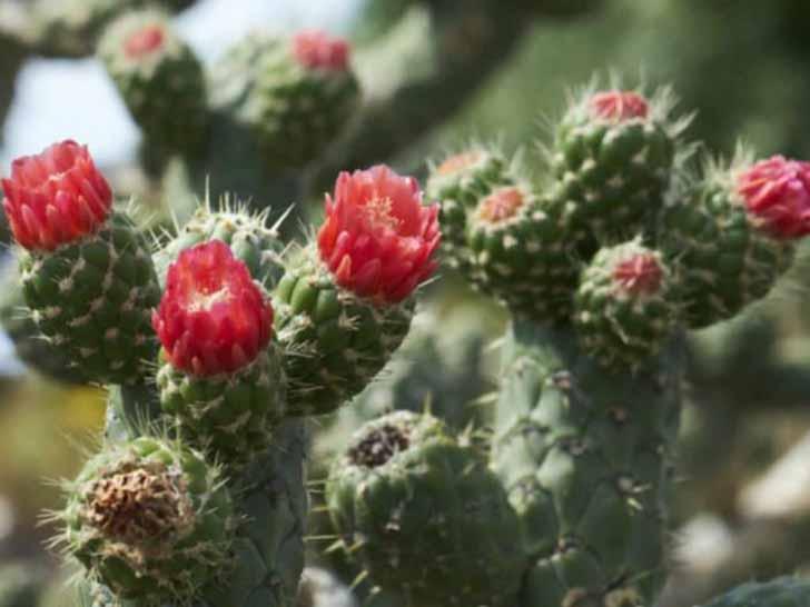 Аустроцилиндропунция цилиндрическая (Austrocylindropuntia cylindrica). © World of Succulents