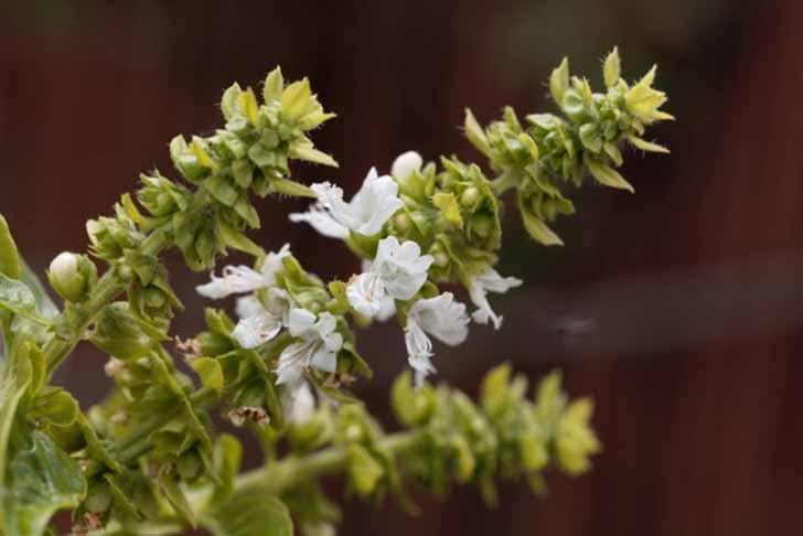 Максимальное количество полезных веществ в базилике накапливается к моменту массового его цветения