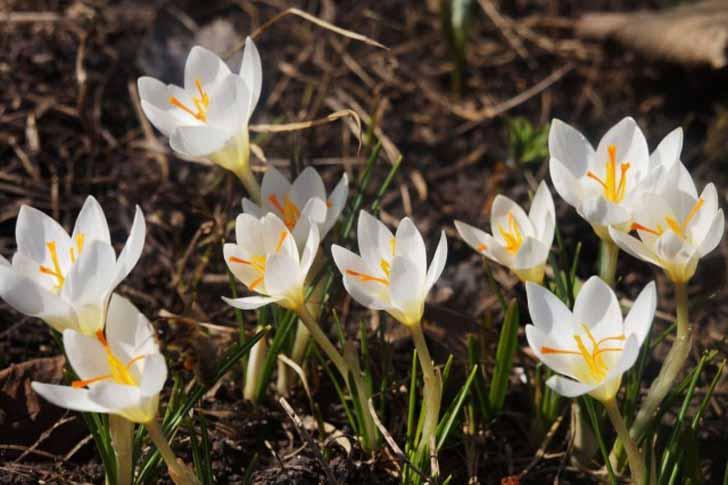 Цветки крокусов отличаются нежным ароматом и привлекают множество пчел. © Людмила Светлицкая