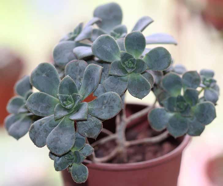 Эониум Хаворти (Aeonium haworthii). © alloe
