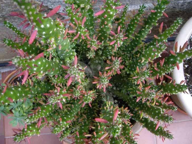 Благодаря активному образованию боковых побегов и деток размножить аустроцилиндропунции очень легко. © World of Succulents