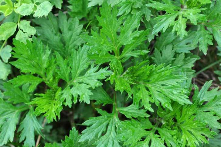 Полынь обыкновенная (Artemisia vulgaris)