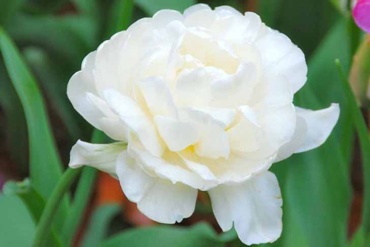 Сорт тюльпана «Гора Такома» (Mount Tacoma). © Gardenia