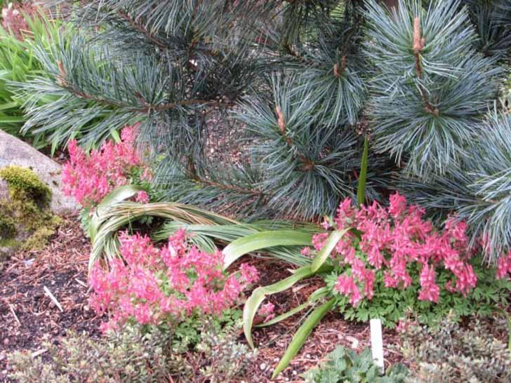 Время цветения хохлатки начинается ближе к концу апреля. © Shelly Feuerstein