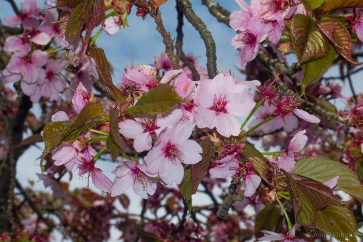 Вишня саржента (Prunus sargentii). © Andrii Khomiuk