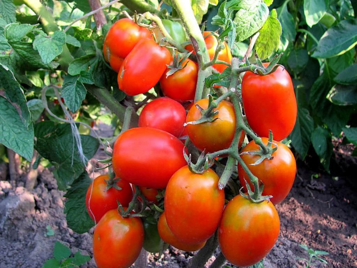 Томат «Петруша-огородник». © orchardo