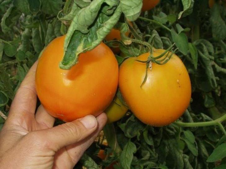 Томат «Оранж». © semena