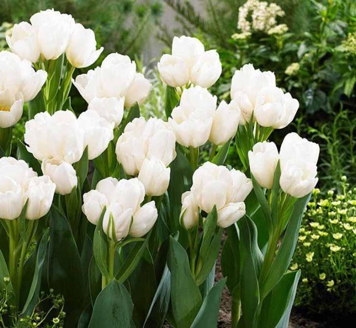 Сорт тюльпана «Белый берлинец» (Weisse Berliner). © Garden Seeds Market