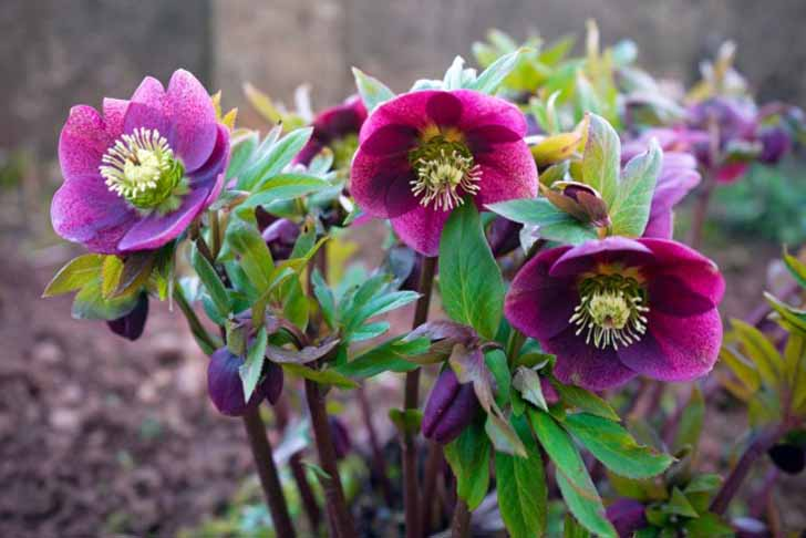 Морозник – очень выносливое холодостойкое вечнозеленое растение