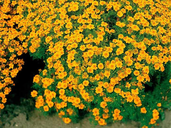 Бархатцы тонколистные (Tagetes tenuifolia) Gnom. © poetschke